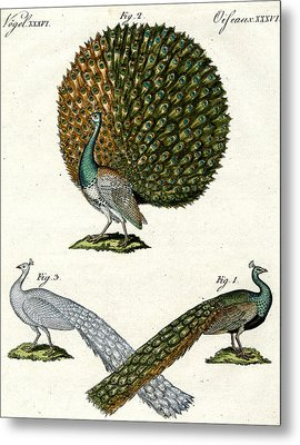 Different Kinds Of Peacocks Metal Print by German School