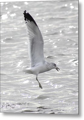 Metal Print featuring the photograph Dining Seagull by Anita Oakley