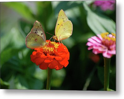 Metal Print featuring the photograph Dinner Table For Two Butterflies by Thomas Woolworth