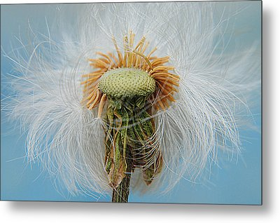 Disheveled Metal Print by Frozen in Time Fine Art Photography