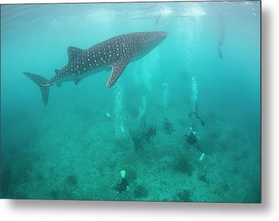 Divers And Snorklers With A Whale Shark Metal Print by Scubazoo