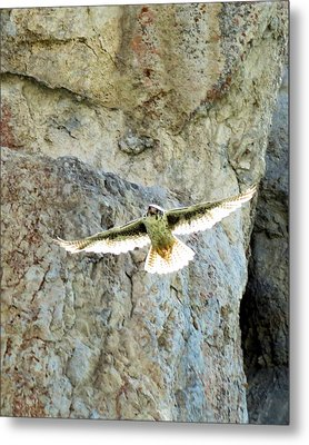 Diving Falcon Metal Print