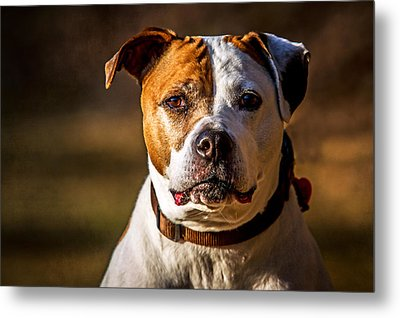 Metal Print featuring the photograph Dixie Doodle The Pit Bull by Eleanor Abramson