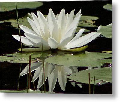 Metal Print featuring the photograph Dockside Lily by Alice Mainville