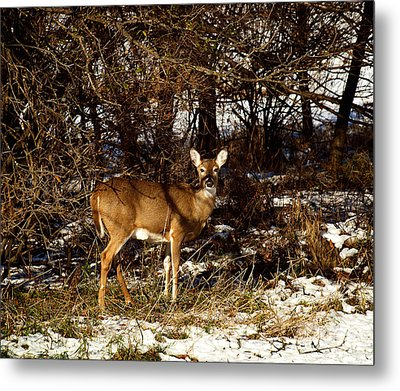 Doe From The Tangle Metal Print by Thomas Young
