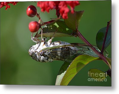 Dog Day Cicada Metal Print by Kathy Gibbons