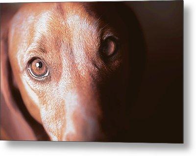 Dog Looking Towards Camera Metal Print by Ktsdesign