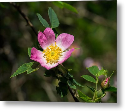 Metal Print featuring the photograph Dog-rose by Leif Sohlman