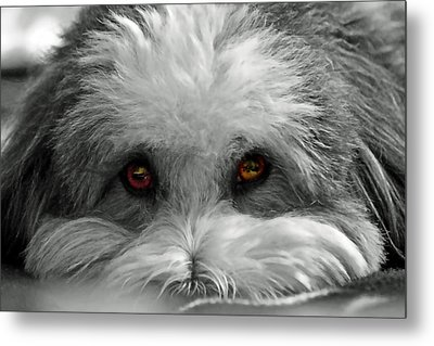 Coton Eyes Metal Print by Keith Armstrong