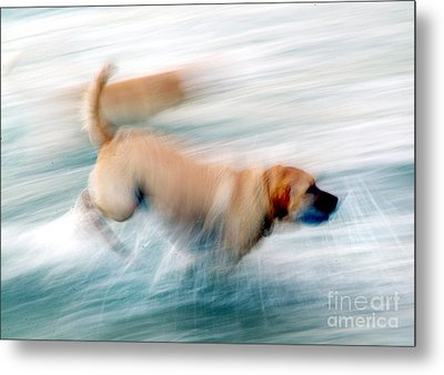 Dogs Running In Sea. Metal Print