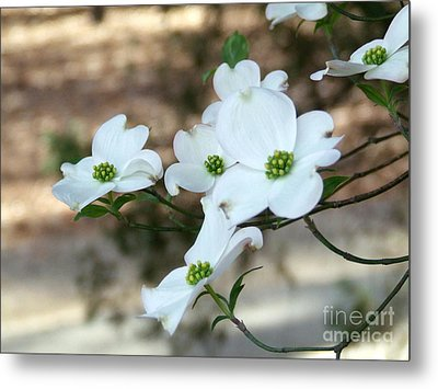 Metal Print featuring the photograph Dogwood 2 by Andrea Anderegg