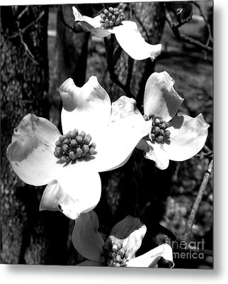 Dogwood 3 Metal Print by Andrea Anderegg