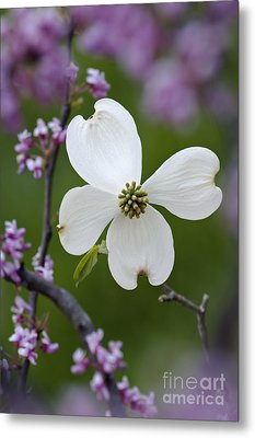 Dogwood And Redbud - D008979 Metal Print by Daniel Dempster