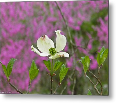 Dogwood Bloom Against A Redbud Metal Print