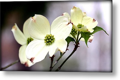 Dogwood Blooms Metal Print