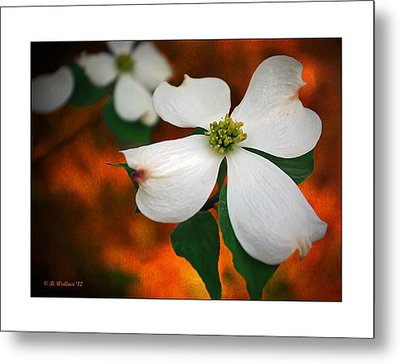 Dogwood Blossom Metal Print by Brian Wallace