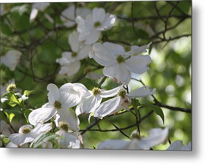 Dogwood Blossoms 3 Metal Print