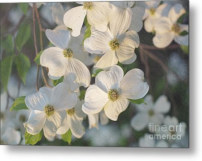 Dogwood Blossoms Metal Print by Kay Pickens