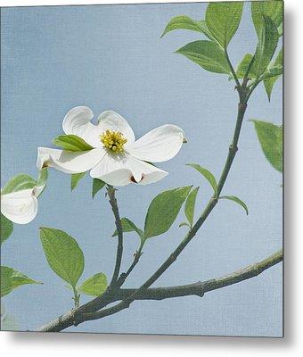 Dogwood Blossoms Metal Print by Kim Hojnacki