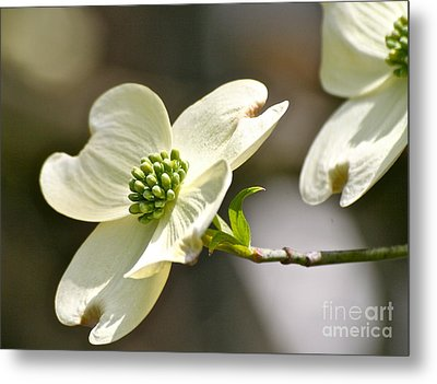 Dogwood Delight Metal Print by Eve Spring