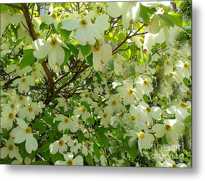Metal Print featuring the photograph Dogwood Kissed By The Sun by Becky Lupe