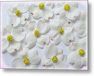 Dogwood Season Number Three Metal Print