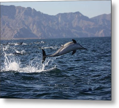 Dolphin Dance Metal Print by Kandy Hurley