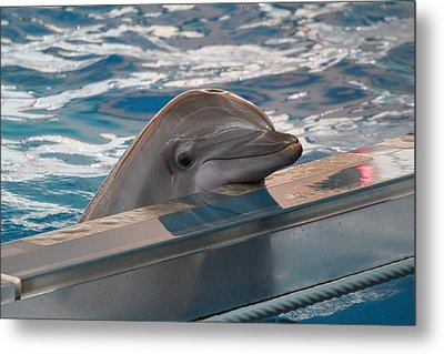 Dolphin Show - National Aquarium In Baltimore Md - 1212281 Metal Print by DC Photographer