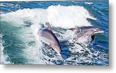 Dolphins Jumping Metal Print by Aimee L Maher Photography and Art Visit ALMGallerydotcom