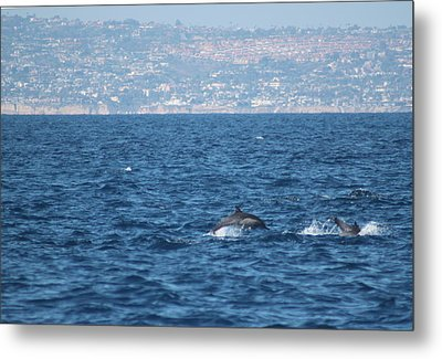 Dolphins Off The San Diego Coast Metal Print