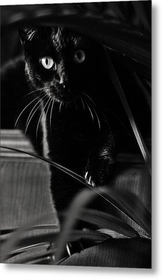 Domestic Black Panther Metal Print
