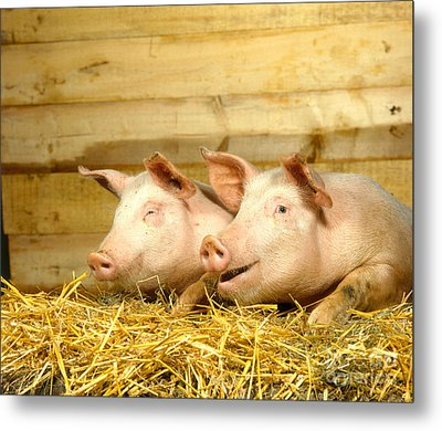 Domestic Pigs Metal Print by Hans Reinhard