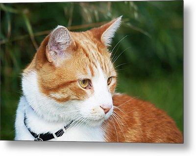 Domestic Shorthair Cat Marmalade Metal Print