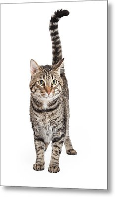 Domestic Shorthair Tabby Cat Standing Metal Print