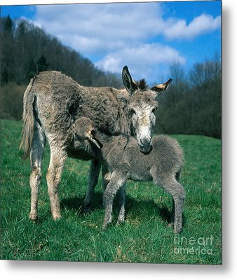 Donkey With Young Metal Print by Hans Reinhard