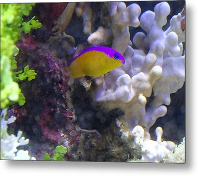 Dottyback After Dinner Metal Print