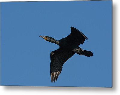 Double-crested Cormorant In Flight Metal Print