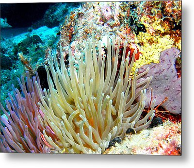 Metal Print featuring the photograph Double Giant Anemone And Arrow Crab by Amy McDaniel