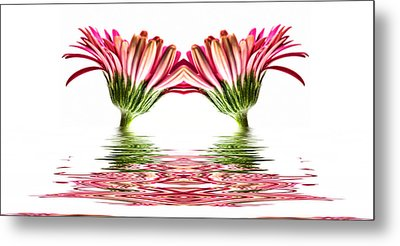 Double Pink Gerbera Flood Metal Print by Steve Purnell