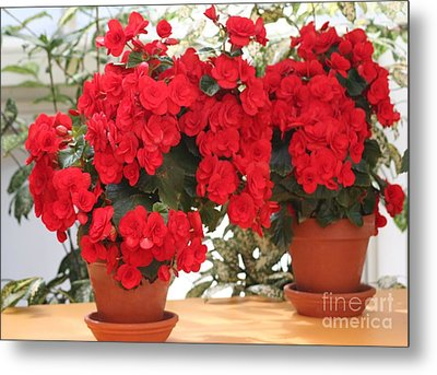 Double Red Begonias Metal Print by Mary Lou Chmura
