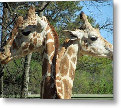 Giraffes With A Twist Metal Print