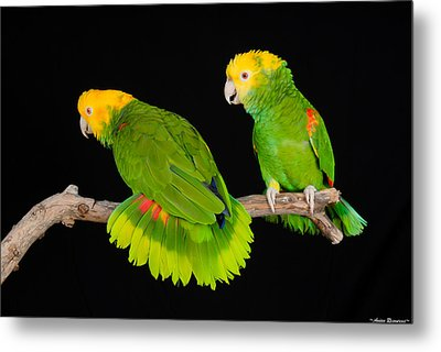Metal Print featuring the photograph Double Yellow-headed Amazon Pair by Avian Resources