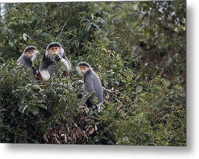 Douc Langur Male And Females Vietnam Metal Print by Cyril Ruoso