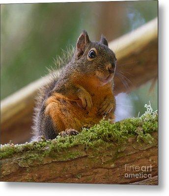 Douglas Squirrel Metal Print by Paul Rebmann