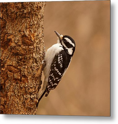 Downy Woodpecker Metal Print by Sandy Keeton