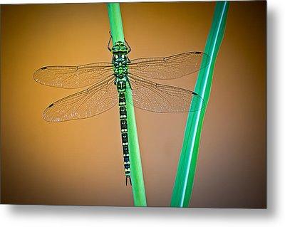 dragonfly Aeshna cyanea Metal Print