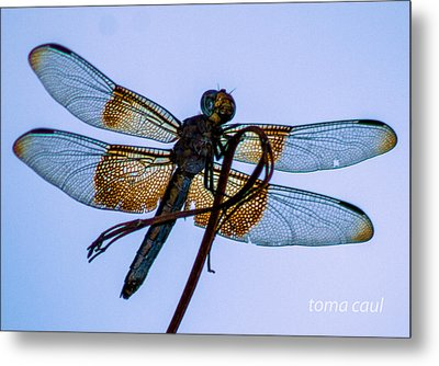 Dragonfly-blue Study Metal Print by Toma Caul