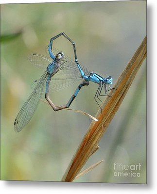 Dragonfly Courtship Metal Print by Amy Porter
