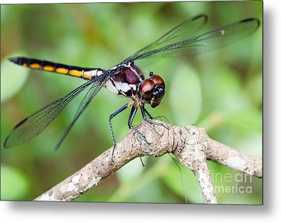 Dragonfly Metal Print by Dawna  Moore Photography