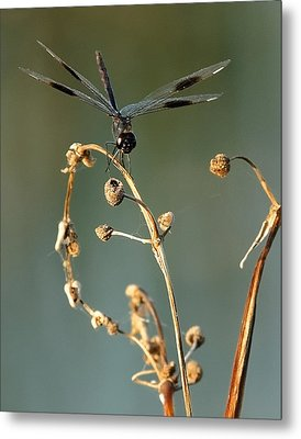 Metal Print featuring the photograph Dragonfly I by Dawn Currie